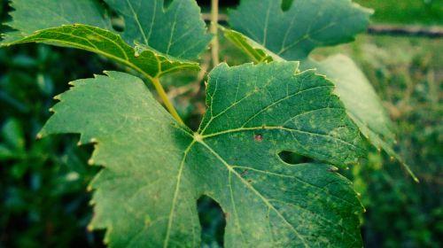 grape foliage green