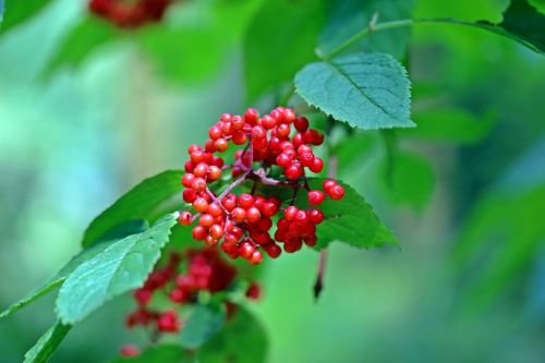 grape-elder hart-elder red elderberry