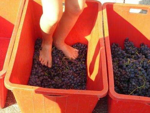 grape harvest feet verona