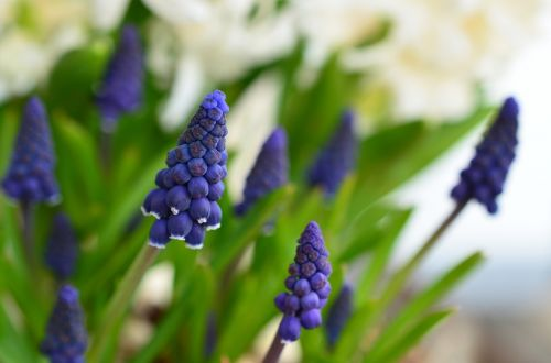 grape hyacinth hyacinth spring