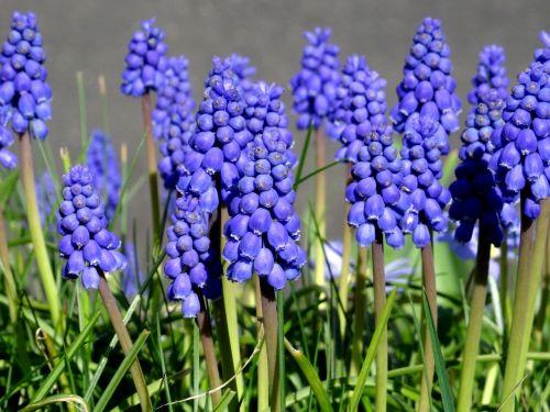 grape hyacinth hyacinth spring