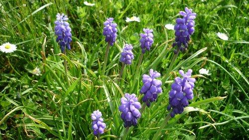 grape hyacinth  flower  grape-shaped