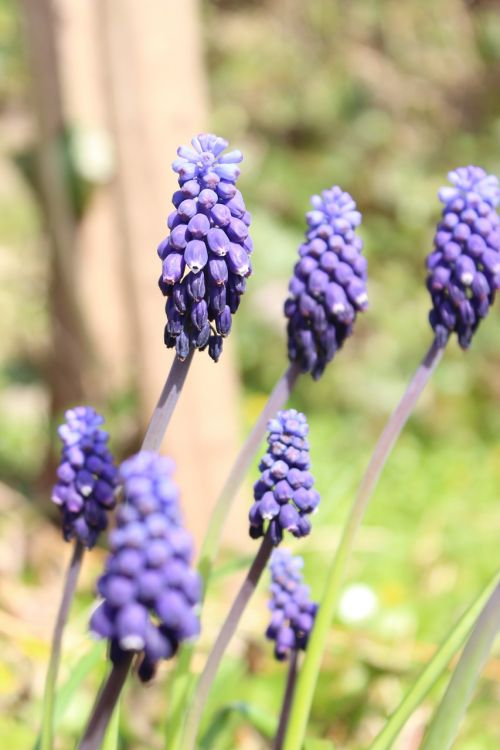 grape hyacinth hyacinth flower