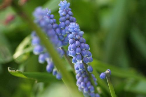 grape hyacinth hyacinth muscari