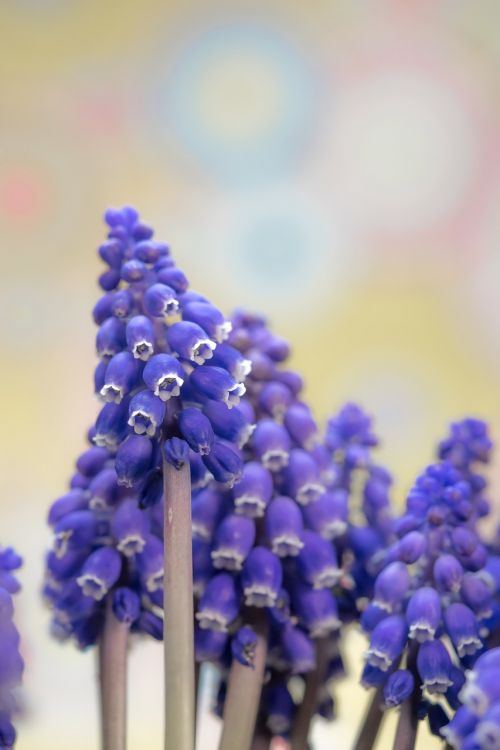 grape hyacinth muscari blossom