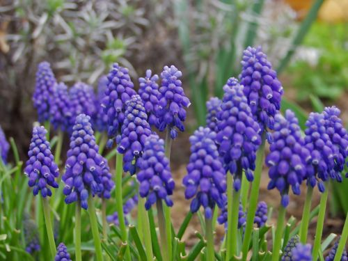 grape hyacinth flower spring