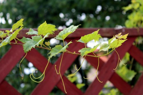 grape leaves,creeper,plant,nature,green,garden,vegetable motif,climbing plants,creeper plant