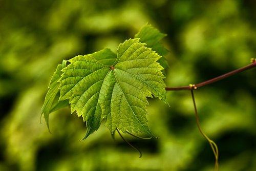 grape vine  leaf  foliage