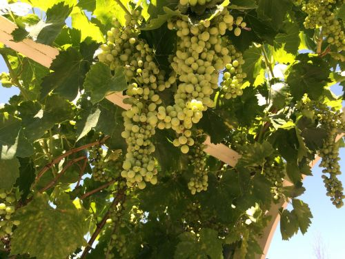 grape vines grapes temecula