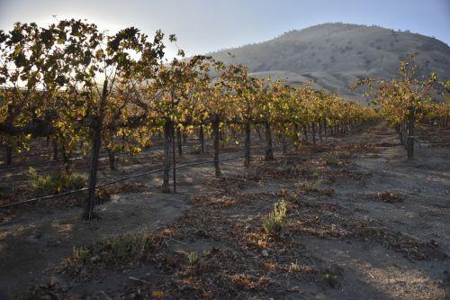 Grape Vineyard In Early Morning