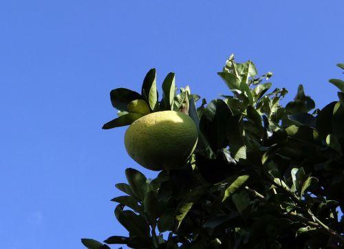 grapefruit citrus fruit vitamin c