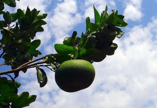 grapefruit citrus paradisi subtropical