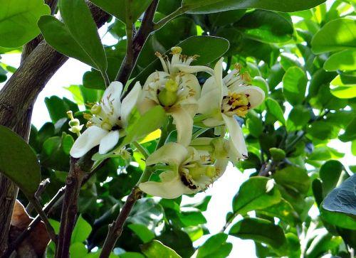 grapefruit flower citrus paradisi