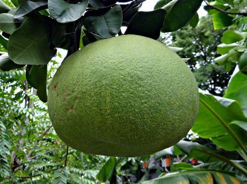greipfrutas,vaisiai,citrusinių paradisi,citrusiniai,subtropinis,rūgštus,semisweet,juce,sultingas,medicinos,Dharwad,pmg,Karnataka,Indija
