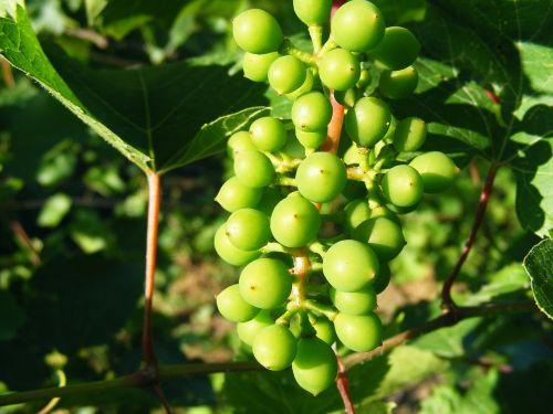 drožyba,vynuogės,žalias,žaliavinis,rūgštus,vynuogynas,vaisiai
