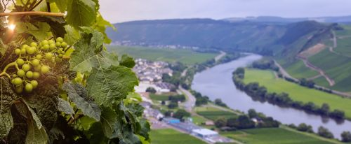 grapes wine vineyard