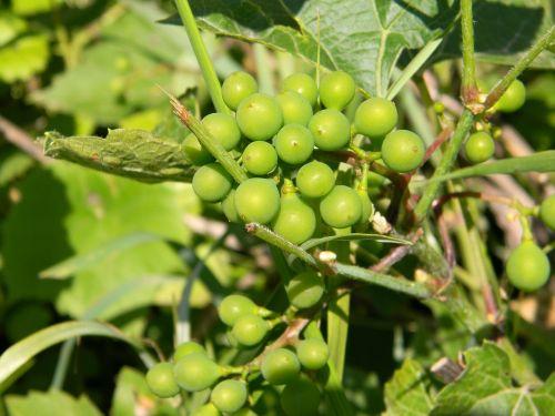 grapes green loza