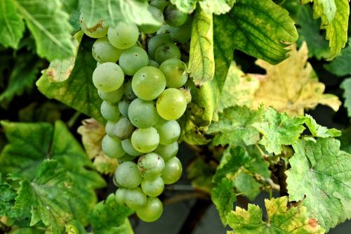 grapes grapevine vines
