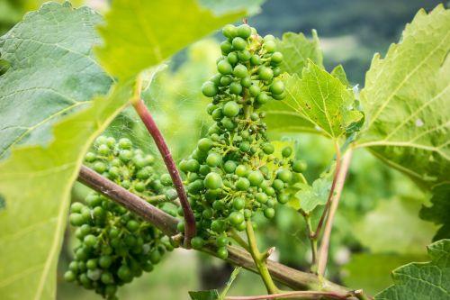 grapes vine immature