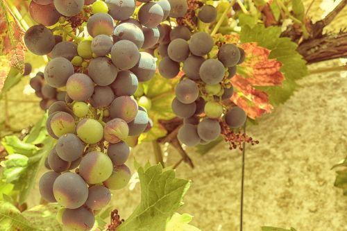 grapes grapevine vine