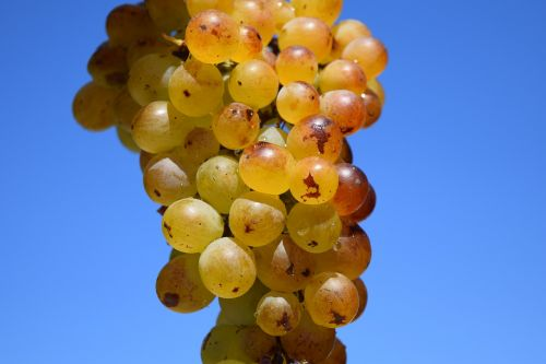 grapes ripe ripe grapes