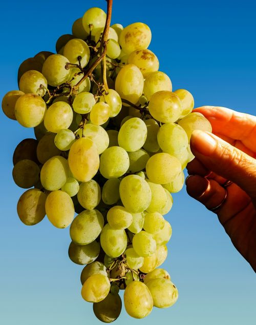 grapes eat fruit