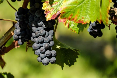 grapes fruit fruits