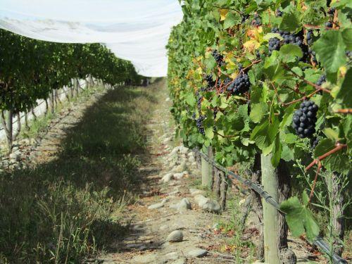 grapes vineyard new zealand