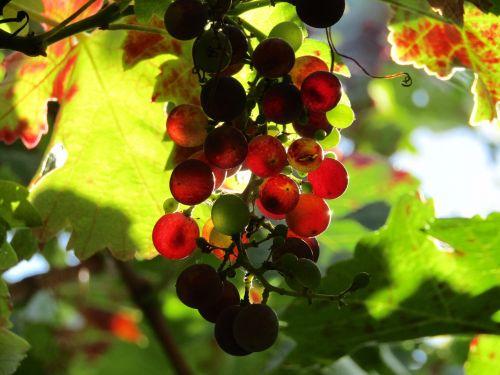 grapes vineyard grape leaves