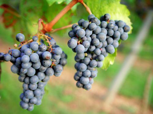 grapes red wine vineyard