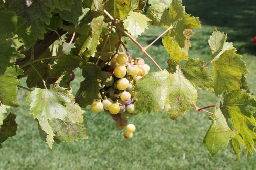 grapes etna sicily