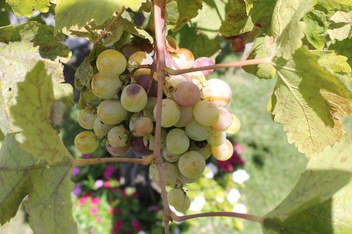 grapes wine sicily