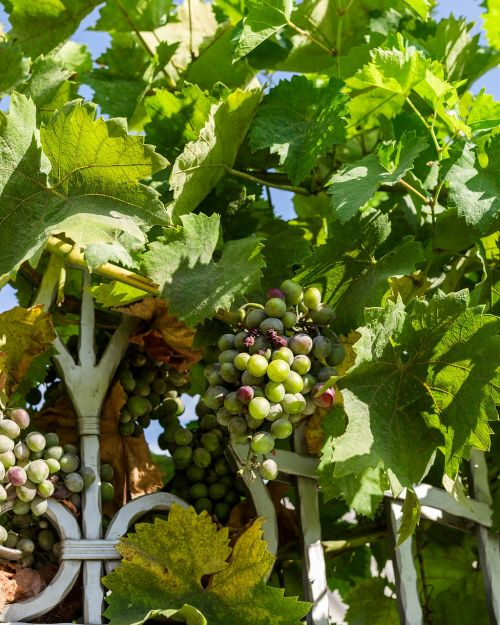 grapes a bunch of loza