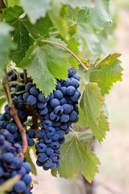 grapes wine grapes purple grapes