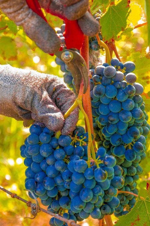 grapes harvest vines