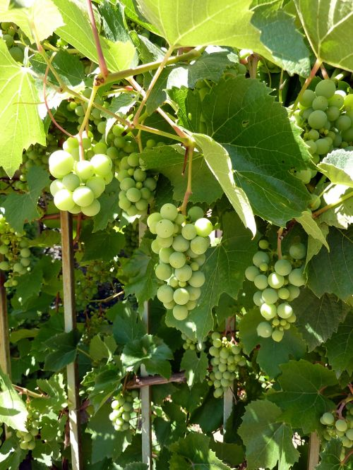 grapes vines grapevine