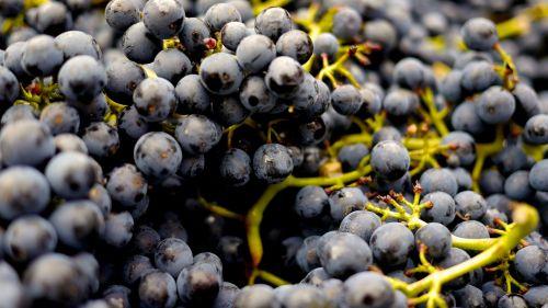 grapes wine grapes pinot noir
