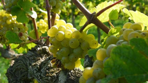 grapes wine grapes riesling