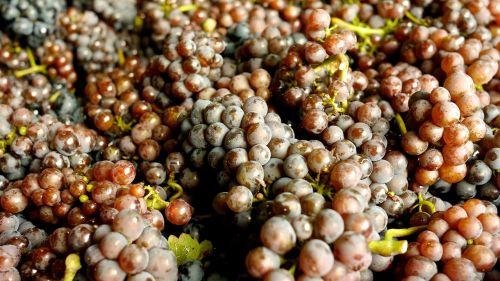 grapes wine grapes pinot blanc