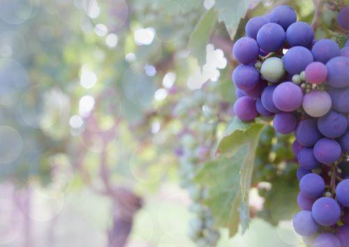 grapes purple grapes vineyard