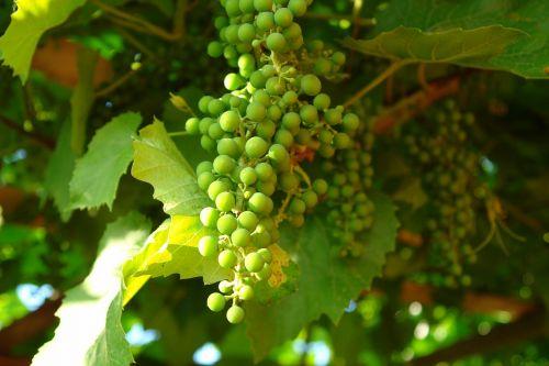 grapes green grapes bunch of grapes