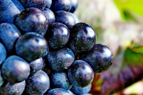 grapes blue ripe grapes