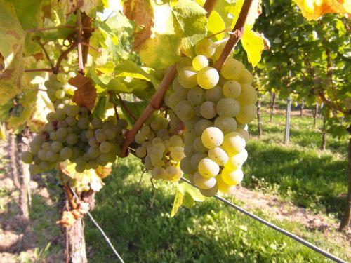 grapes vine table grapes