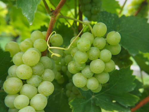 grapes grape vine