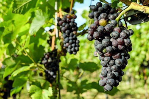 grapes fruit vine