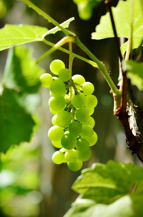 grapes winegrowing green grapes