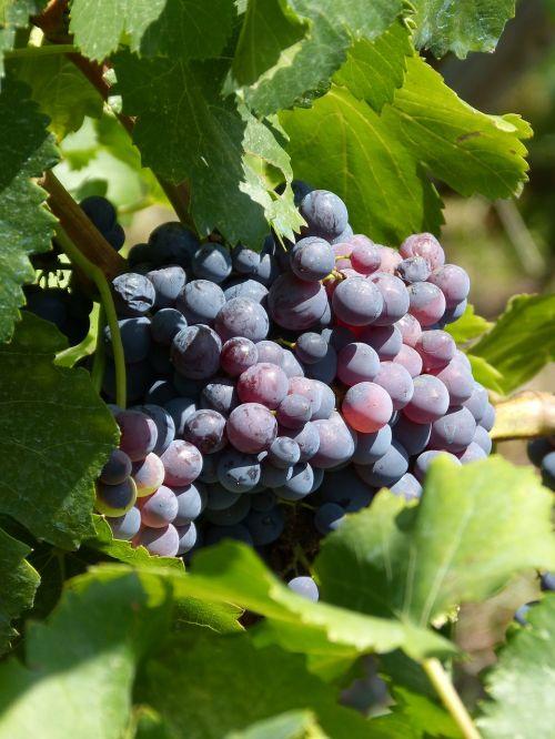 grapes vineyard vintage