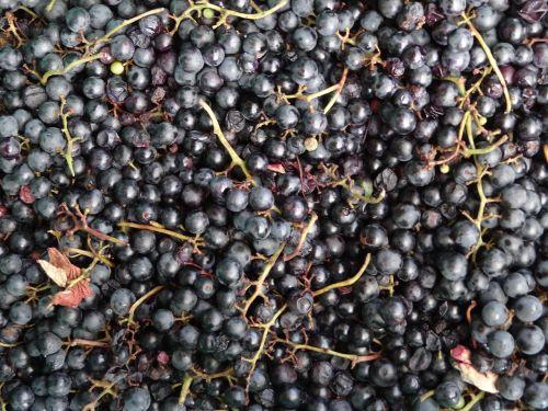 vynuogės,Burgundija,vaisiai