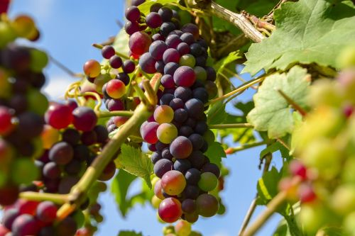grapes fruit winegrowing
