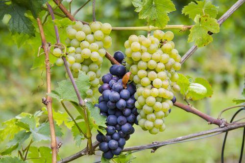 grapes bi color varieties
